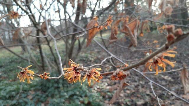 """""""Волшебный орех"""", розы, ноготки: что цветёт в Ботаническом саду перед Новым годом (фото)"""
