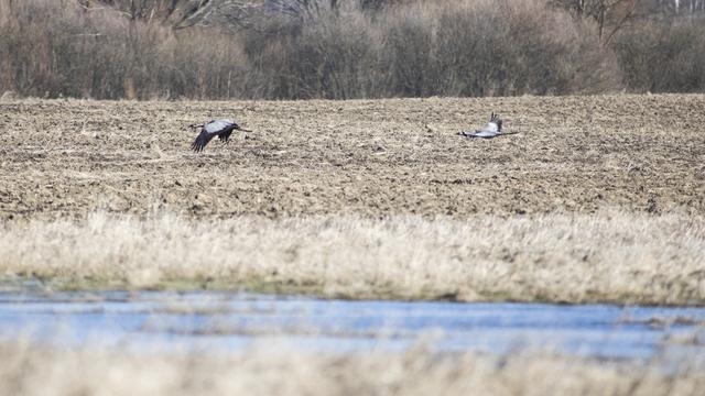 Жители посёлка под Правдинском пытаются спасти стаю журавлей: нужна ли помощь зимующим птицам
