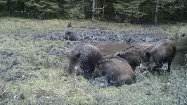 В Литве сняли на видео купающихся в грязи кабанов