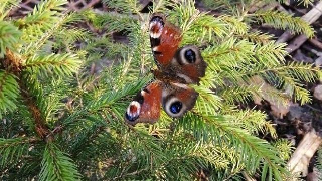 В феврале в Калининградской области проснулись бабочки (фото)