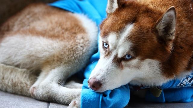 Хаски в синем свитере: в Калининграде пёс ходит с хозяйкой на работу и ждёт на улице по восемь часов