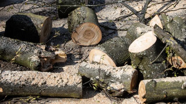 В регионе лесозаготовительное предприятие незаконно вырубило деревьев на 8 млн рублей