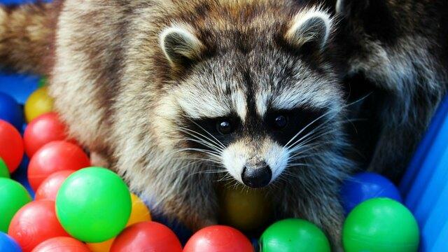 Зоопарк Калининграда показал, как еноты ищут угощения среди разноцветных шариков (фото, видео)