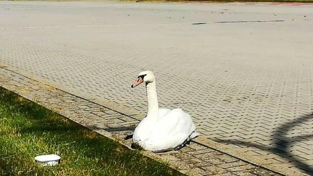Польские пограничники поймали лебедя со сломанными лапами, который пробирался в Калининградскую область