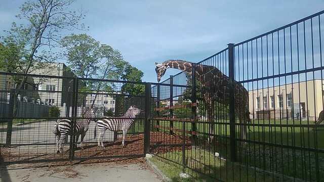 В Калининградском зоопарке познакомили зебр и жирафов, которых поселят вместе в