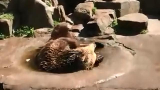 В Калининградском зоопарке медведь Фима открыл купальный сезон (видео)