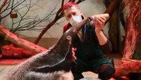 Калининградский зоопарк показал, как детёныш муравьеда ест из бутылки (видео)