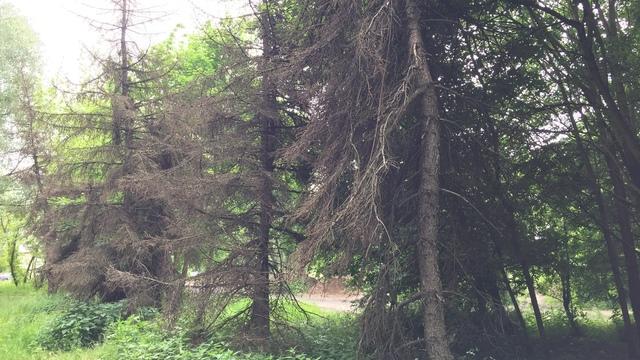 В Южном парке высохли пересаженные с автовокзала ели (фото)