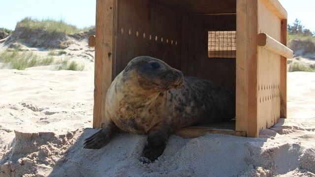 Сотрудники зоопарка Калининграда выпустили в море спасённого тюленя (фото)