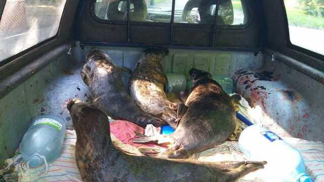 Откормить и отучить от человека: зоопарк Калининграда взял на реабилитацию ещё четырех тюленей (фото)