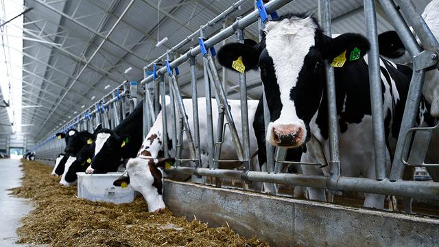 В Калининградской области открыли молочный комплекс с самым крупным доильным залом в Европе