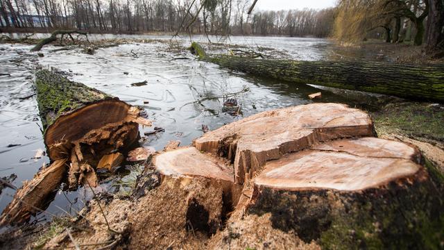 На ул. Чайковского из-за строительства вырубят больше 60 деревьев