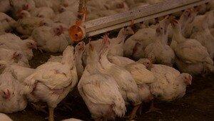 Россиянина больше 23 лет держали в рабстве на птицефабрике в Польше