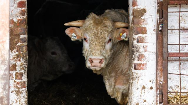 Символ 2021 года — бык: несколько фактов о животном (фото)