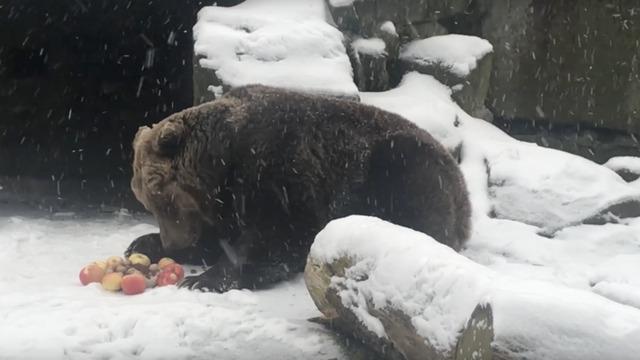 В Калининградском зоопарке бурая медведица отметила четвертьвековой юбилей (видео)