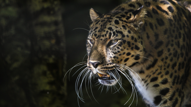 В зоопарке Калининграда леопард Хан обнимался со снеговиком (видео)