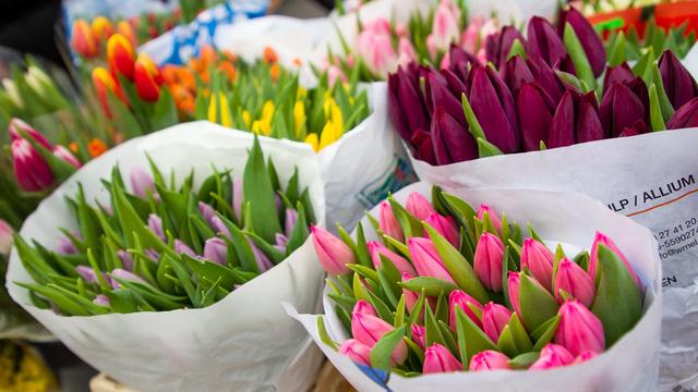 В Калининградской области к весенним праздникам вырастили 11 млн тюльпанов