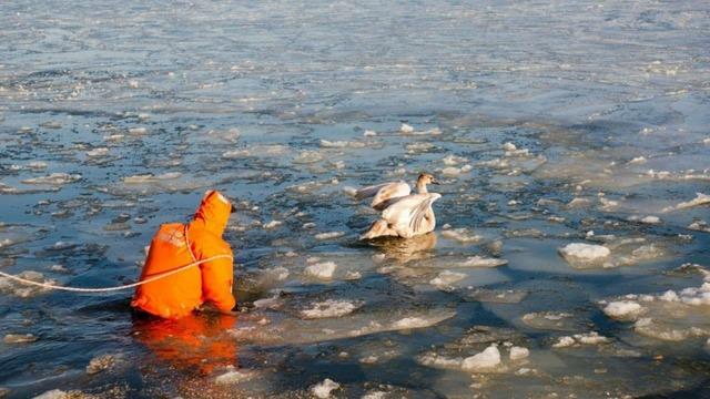 Житель Светлого полез в воду ради спасения вмёрзших в лёд лебедей (фото)