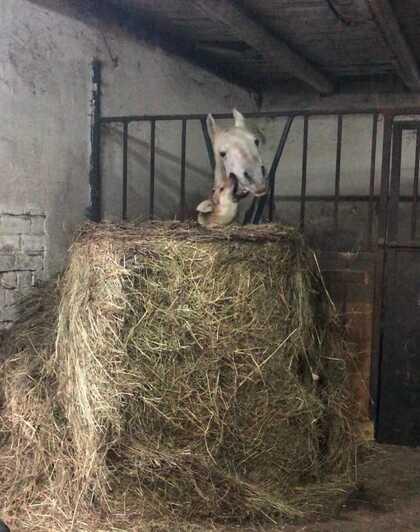 В Калининграде дворняга подружилась с породистым жеребцом (фото) - Новости Калининграда