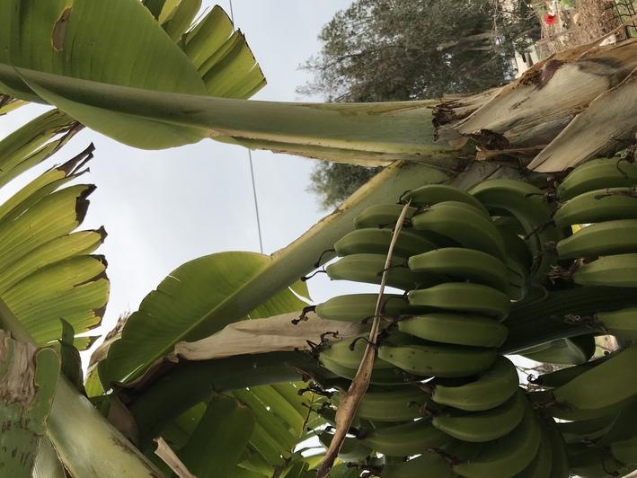 Бананы, которые растут у нашего коллеги в съёмном доме   Фото: личный архив