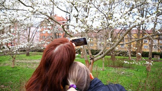 Фон для фото: в ботаническом саду БФУ им. И. Канта зацвела магнолия
