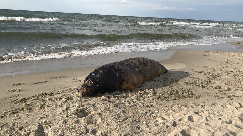 В Куликово на пляж выбросило мёртвого тюленя - Новости Калининграда | Фото очевидцев