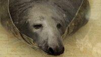 В Калининградский зоопарк переехал тюлень Кайюс из Каунаса