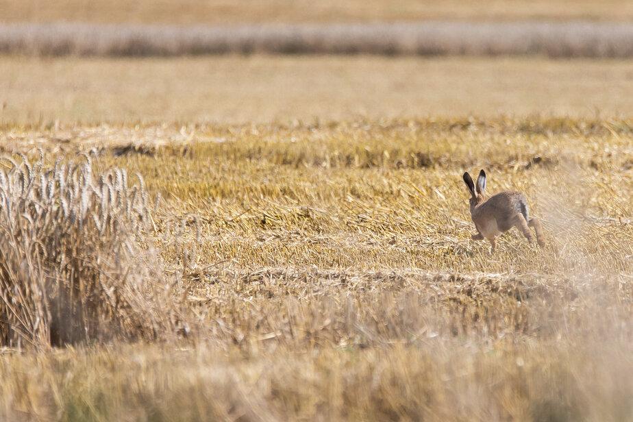 Фото дня: заяц в пшеничном поле - Новости Калининграда   Фото: Александр Подгорчук / «Клопс»