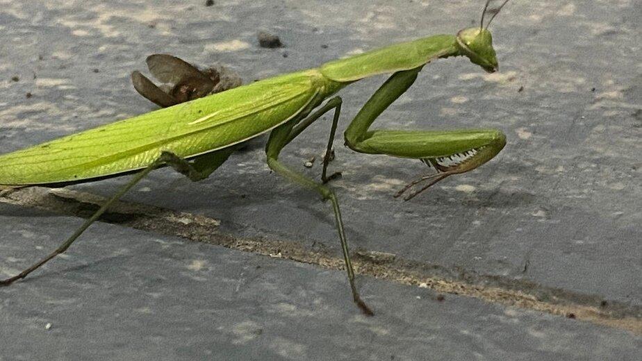 Отгрыз голову и съел: в Калининградской области стали чаще встречаться экзотические насекомые-хищники - Новости Калининграда   Фото: очевидец