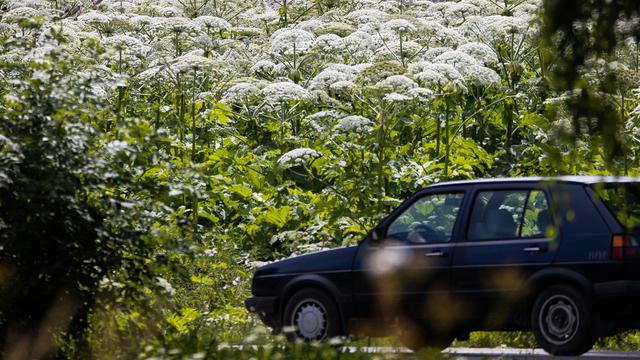 Калининградский минсельхоз предлагает штрафовать собственников земель, где растёт борщевик