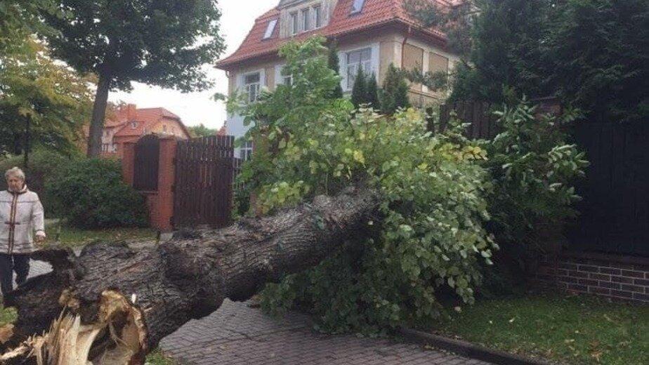 В Калининградской области за ночь ураган повалил более 36 деревьев (фото)  - Новости Калининграда | Фото: очевидец