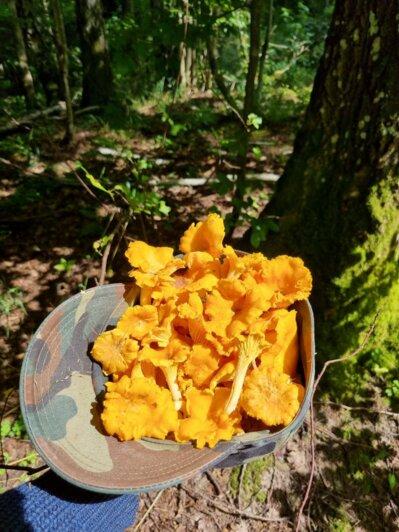 После дождей пошли грибы: калининградцы хвастаются добычей - Новости Калининграда | Фото: читатель «Клопс»