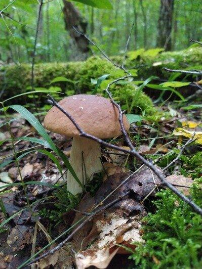 После дождей пошли грибы: калининградцы хвастаются добычей - Новости Калининграда | Фото: Егор