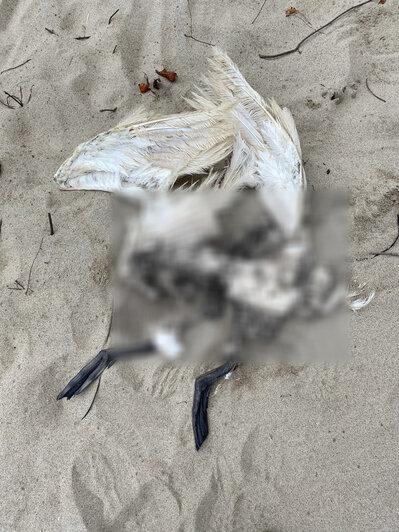 На побережье под Светлогорском лебедь охранял обезглавленного сородича (фото) - Новости Калининграда   Фото очевидца