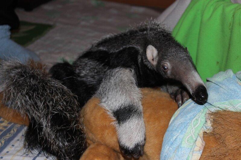 В калининградском зоопарке детёнышу муравьеда исполнилось два года - Новости Калининграда | Фото: пресс-служба зоопарка Калининграда